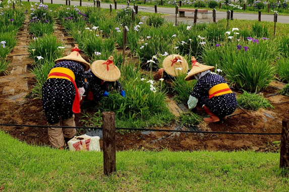 Women tending to flowers in Japanese traditional outfit