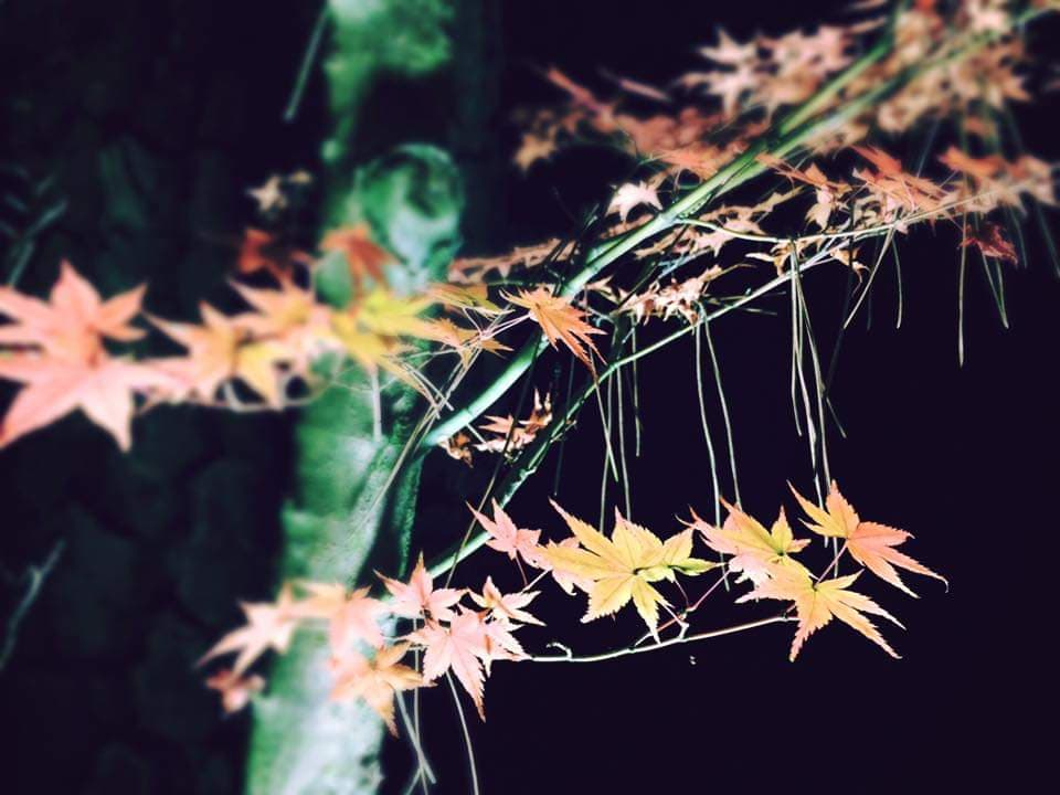 A close-up of autumn leaves lit up at night