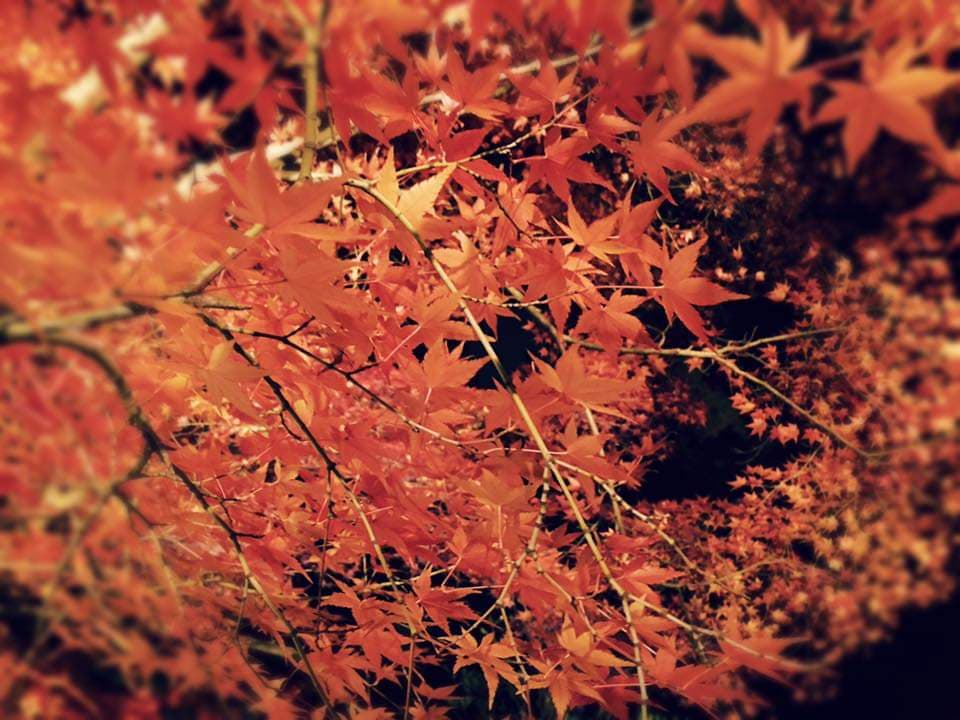 A close-up picture of the autumn foliage