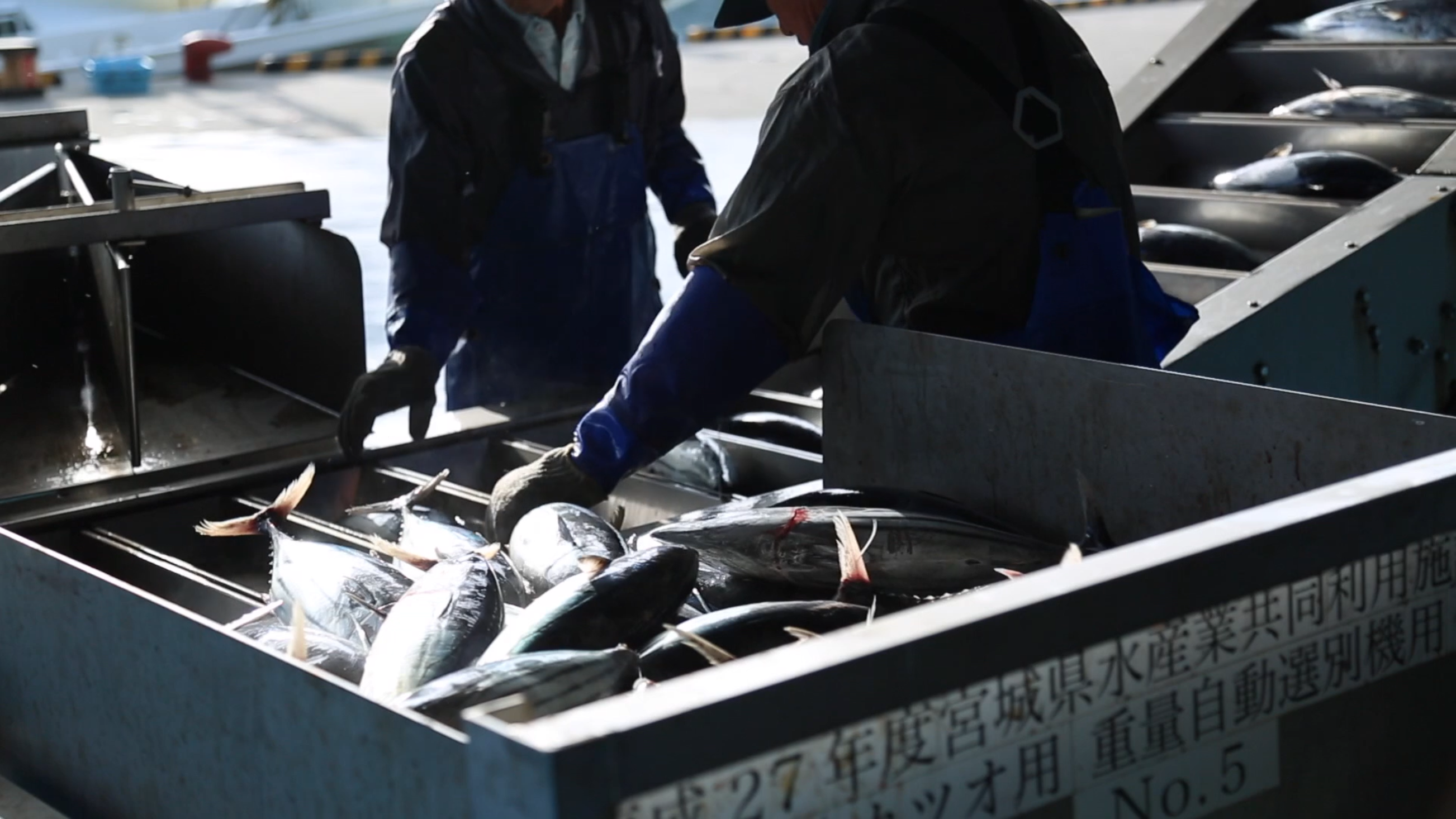 Picture of skipjack tuna being loaded into a sorting machine by three men at the fish market